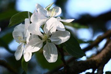 Apple-tree flowers in the morning./Three large fresh very white flowers of an apple-tree in beams of the morning sun.