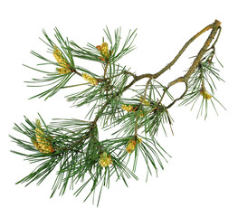 A fragrant pine tree with cones. Isolated. Christmas decor. Close-up.