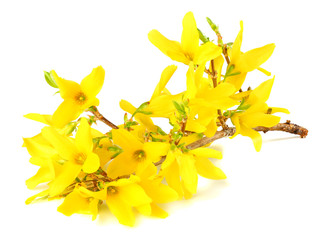 yellow flowers blossoms isolated on white background