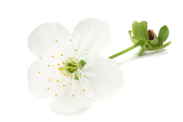 white flowers blossoms isolated on white background. cherry flower