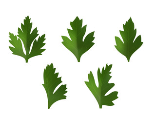 set of leaves of coriander or parsley. On white background. Realistic style. Vector illustration.