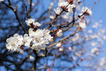 branches of flowering spring trees against the blue sky, background