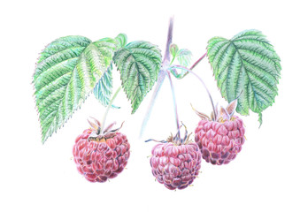 Raspberry branch colored pencil drawing