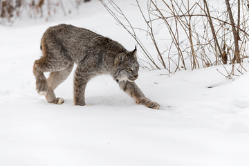 Canadian Lynx (Lynx canadensis) Stalks Right