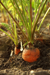 carrots on the field in the ground