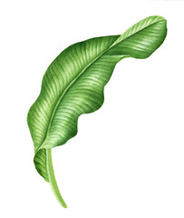 Realistic tropical botanical foliage plants Tropical banana leaves. Hand painted watercolor illustration isolated on white.