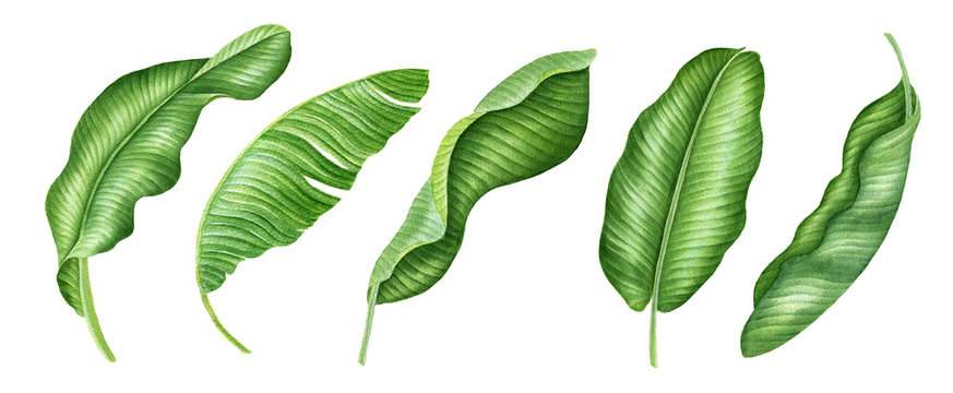 Realistic tropical botanical foliage plants. Set of tropical leaves and flowers: green palm neanta, monstera, hibiscus. Hand painted watercolor illustration isolated on white. Banana leaves