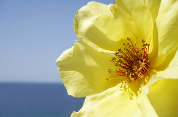 Close up view of yellow rose flower, with blue background sea and sky