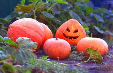 Pumpkins rips in the garden for halloween