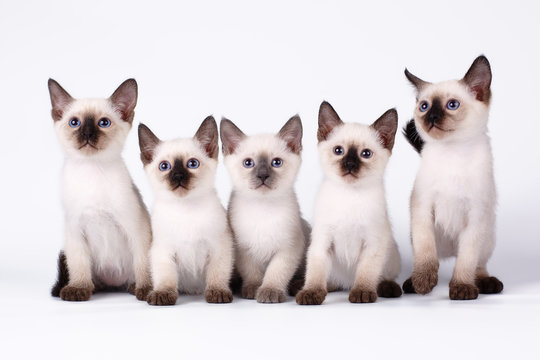 Five thai kittens isolated on white background