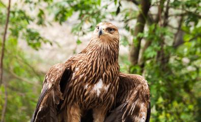 Golden eagle Aquila chrysaetos sitting