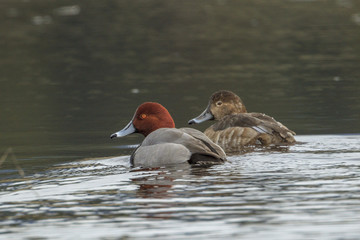 Redhead duck couple in water.