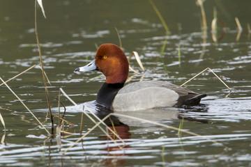 Male redhead duck (Aythya americana) .