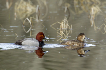 Reflection of redhead duck couple.