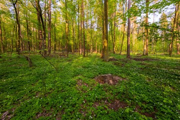 Spring forest landscape with white anemones blooming