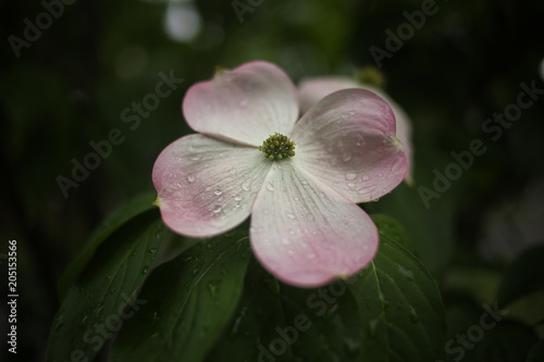Stellar Pink Flowering Dogwood Tree With Raindrops Stock Photo And