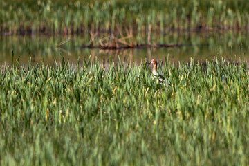 American Avocet in breeding plumage and marsh grasses in Alamosa National Wildlife Refuge in southern Colorado
