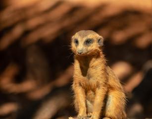 meerkat is watching something