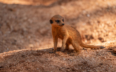 meerkat kit is watching