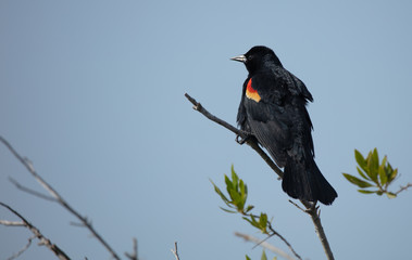 red wing black bird perched on a sunny day in the wetlands