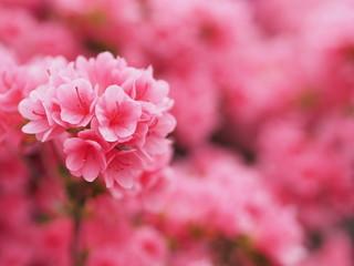 満開に咲くピンク色のツツジ
