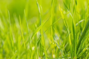 Green spring grass in close up