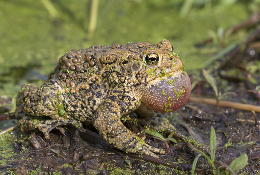 American toad (Anaxyrus americanus) with inflated throat sack calling