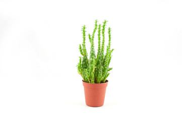 Green cactus plant isolated on white background