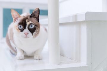 Blue eyed thai cat lying on white staircase.