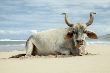 Cattle on the beach in Transkei, Eastern Cape, South Africa