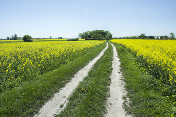 Canvas Prints Culture Village road through the rapeseed field