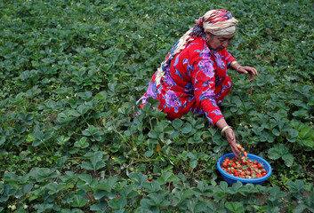 A woman picks strawberries from her field on the outskirts of Srinagar