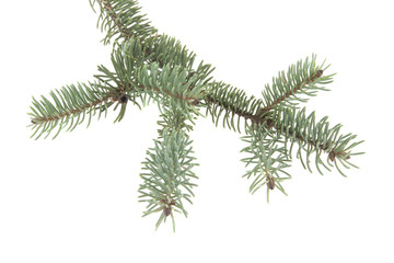 branch of Christmas tree isolated on white background