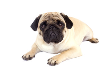 Pug dog isolated. Looking sad with big eyes