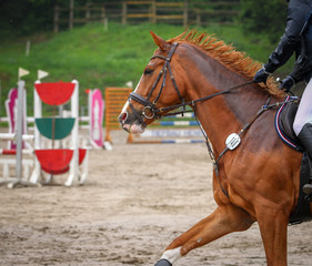 Horse in the jumping course, taken from the side in the portraits, during the gallop phase..