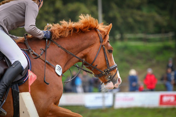 Horse in the jumping course, taken over the jump as head portraits from the side.