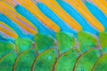 Close-up of the colorful scales from Bicolour Parrotfish