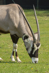 Oryx antelope on a meadow in a zoo in Italy