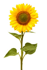 Fototapete - Sunflower isolated on white background