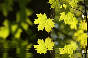 Spring maple leaf in the forest