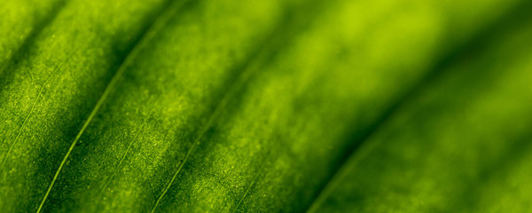Closeup background of sunlight coming through green leaf. Rich texture, good for phone or desktop wallpapers. Calm natural mood
