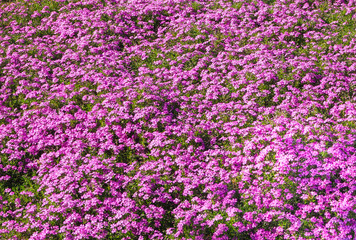 A carpet of living purple flowers. Field of flowering rhododendrons.