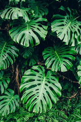 Green leaves of Monstera philodendron plant growing in greenhouse, tropical forest plant, evergreen vines abstract background.