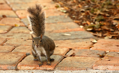 Eastern gray squirrel leaning sideways on a paved walkway.