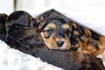 Sleeping group pf puppies