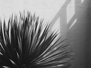 Beautiful yucca plant near old white stone wall. Shadows on the wall on sunny day. Black and white