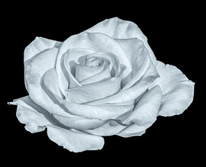 Still life fine art floral monochrome macro flower photo of a single isolated white open blooming rose blossom on black background with detailed texture taken in spring or summer
