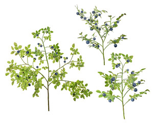 three blueberry lush branches with berries