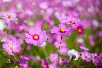 Cosmos flower in the green fields.