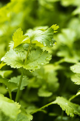 Coriander, also known as cilantro or Chinese parsley